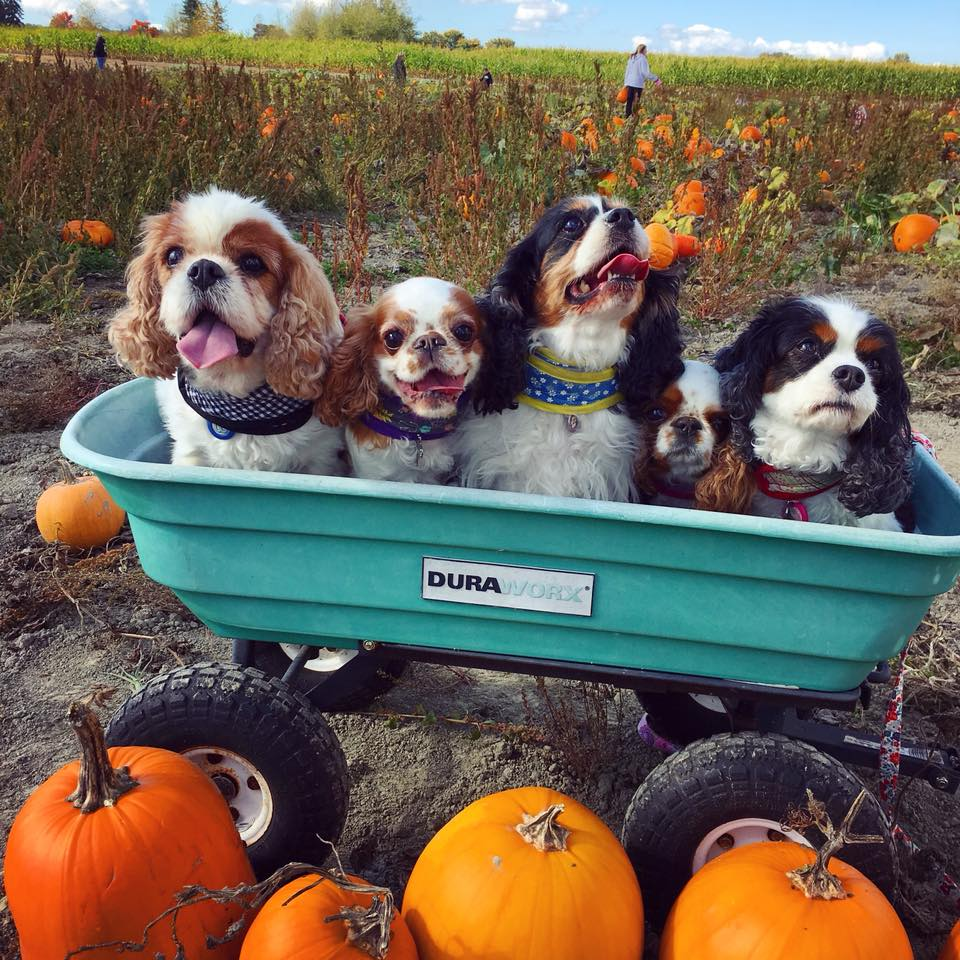 Dogs at Pumpkin Patch